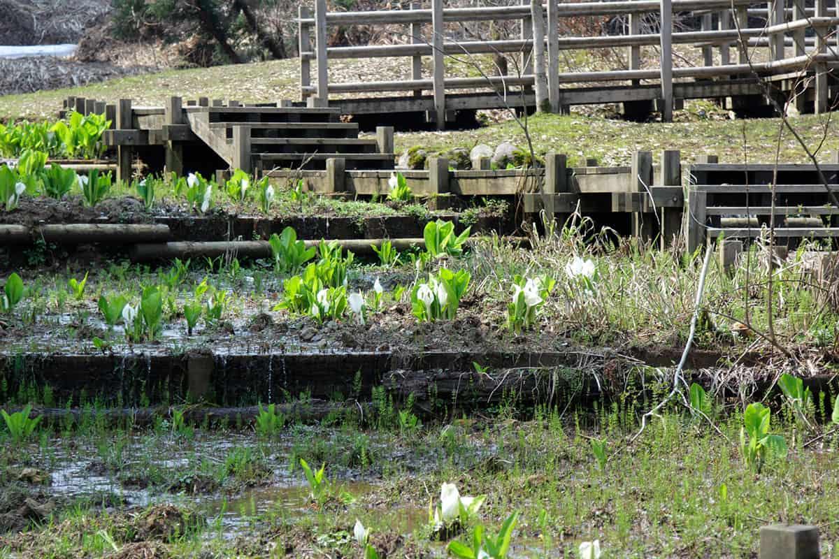 桜ヶ池の水芭蕉