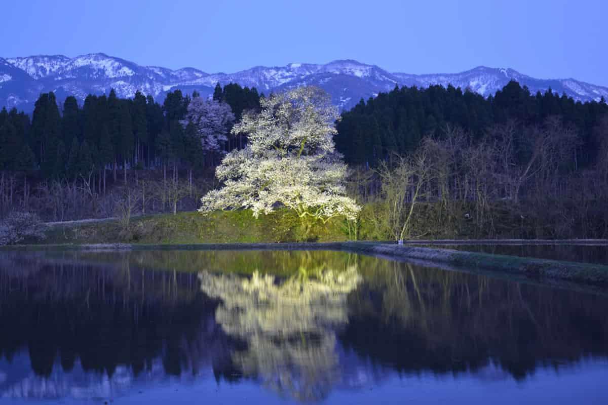 向野のエドヒガン桜の夜桜