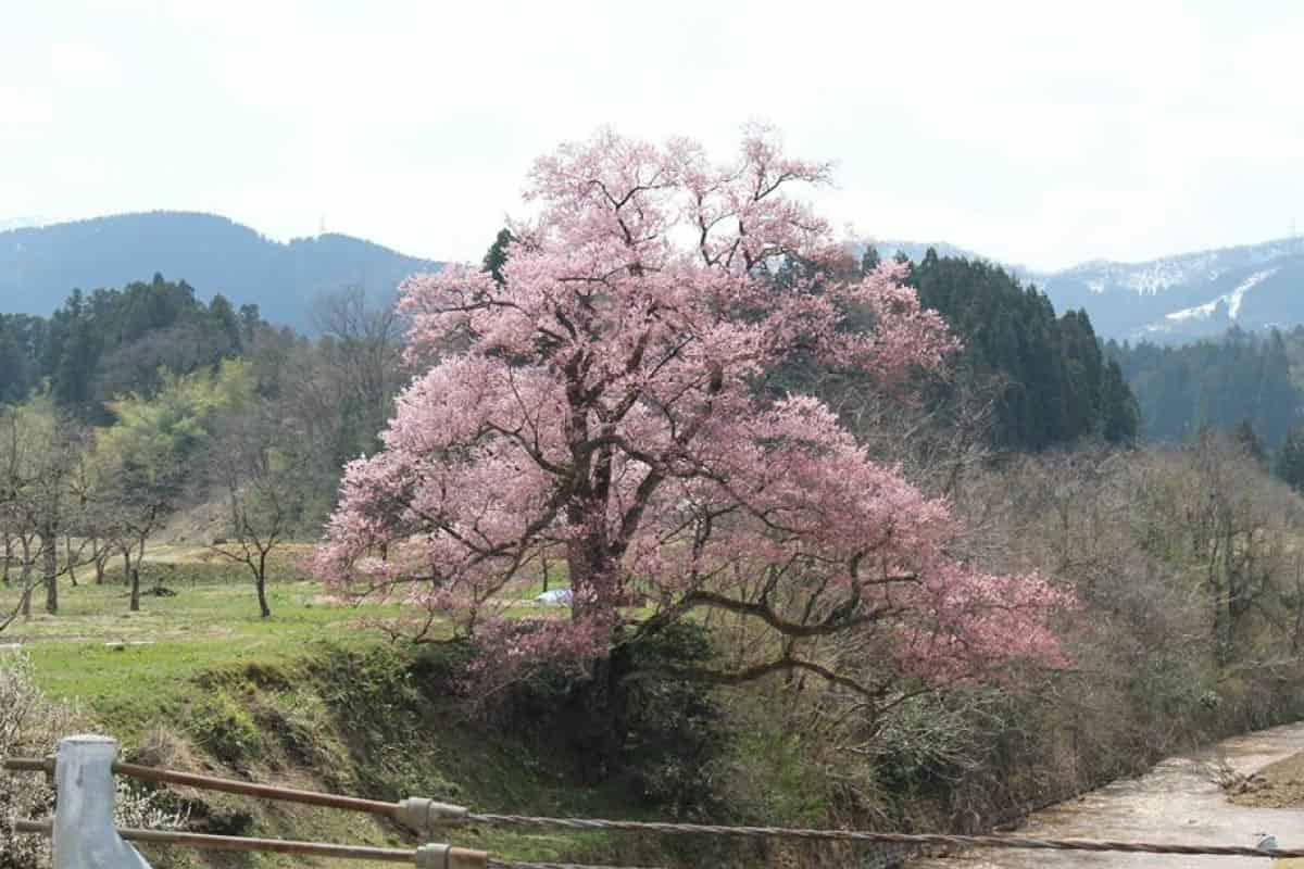 向野のエドヒガン桜