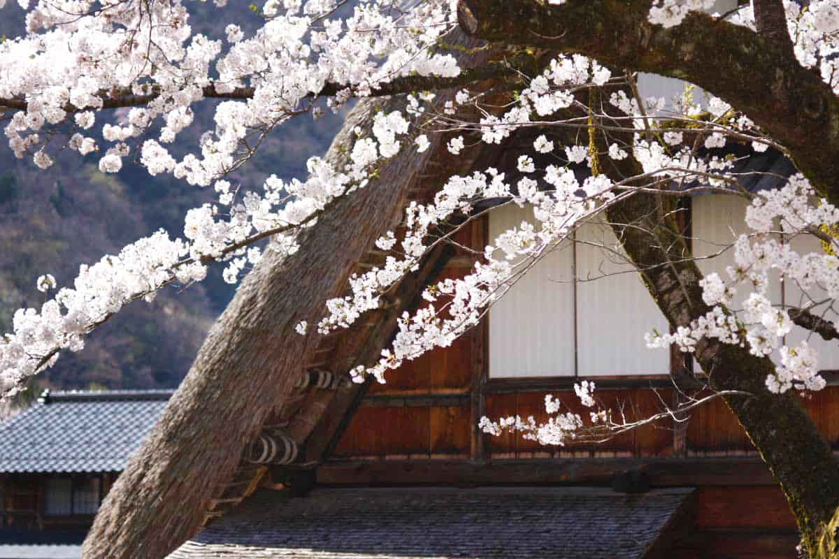 五箇山・菅沼の桜