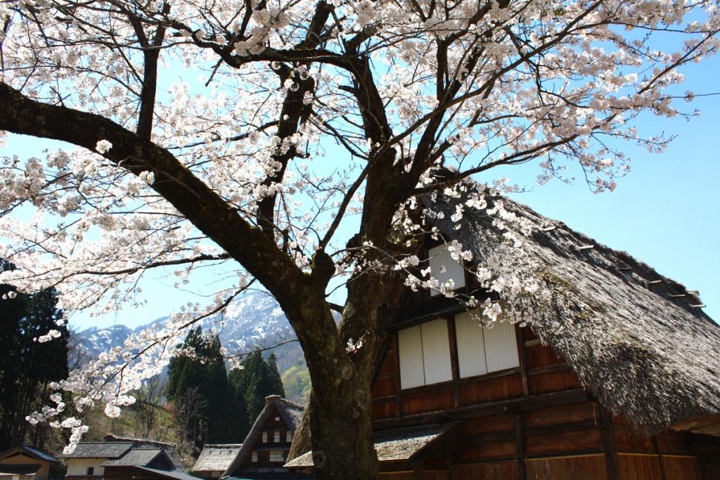 菅沼桜izu_1200IMG_8491泉沢