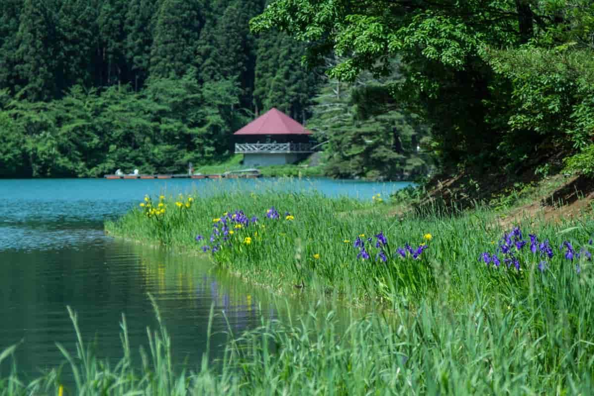 桜ヶ池の菖蒲